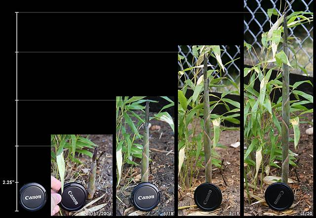 Bamboo shoot growth comparison
